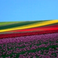 caleffi-giuseppe-la-collina-dei-tulipani-3