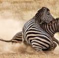 paolicchi-elisabetta-zebre