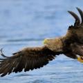 ricci-vittorio-sea-eagle-3