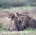 rizzato-pierluigi-cheetah-in-the-rain