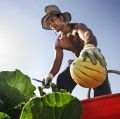 Faggiani Vittorio - La raccolta dei meloni