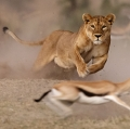 A lioness is hunting a tommy
