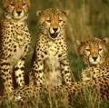 005_tre-giovani-ghepardi-kenia-cibachrome