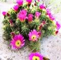 021_cactus-fiorito-con-ape-messico2004-da-diapositiva-elaborata-digitalmente-stampa-inkjet-su-tela