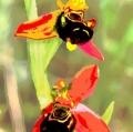 024_ophrys-apifera-monte-pisano-da-diapositiva-elaborata-digitalmente-stampa-inkjet-su-tela